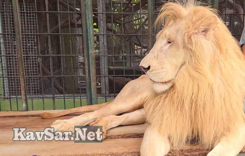 Bertemu Singa dalam Primbon